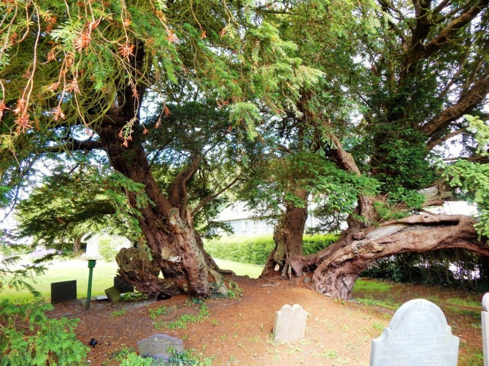 Llangernyw - up until very recently the oldest known tree in Wales (4000years). This male stands sleepily in an unassuming churchyard in the small town of Llangernyw (North Wales) just being all old and mysterious. One of the '50 Great British Trees'. Doesn't get as much traffic as you'd expect for the oldest in Wales and will probably get less now that it's technically the second oldest. I don't think it cares, really. It's just doing what it's been doing since Neolithic man was pottering around making burial mounds…   Tradition tells of a 5th century saint who founded a church on the round site where (given its age) the tree had already been standing a long time, possibly with others. There are eight other male trees on the site none of them as old or impressive.