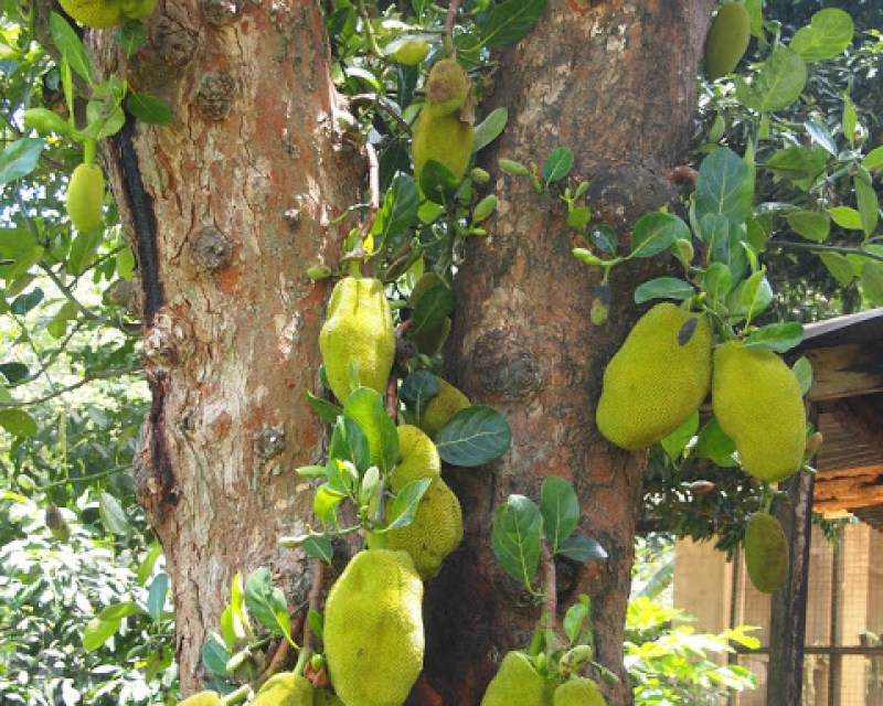 Jackfruit vs Durian: 7 Ways They Are NOT The Same