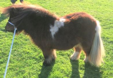 Shetland pony stolen in Ashingdon