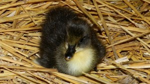 The Daily: New Ducklings, Hugelkultur, Farm Photos, & Update!