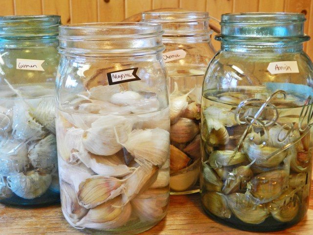 Soaking Garlic Before Planting- Yellow Birch Hobby Farm