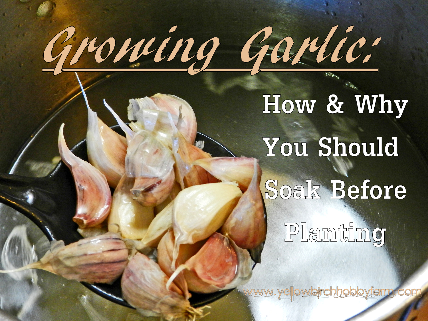 growing garlic how and why you should soak before planting. Black Bedroom Furniture Sets. Home Design Ideas