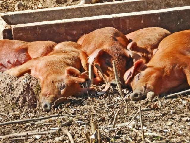 yellow birch hobby farm- pigs