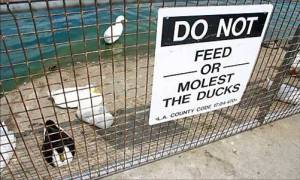 do not molest ducks