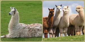 lllama alpaca