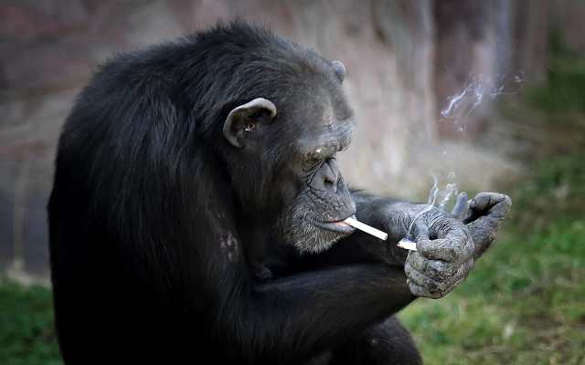 Smoking monkey leyes absurdas