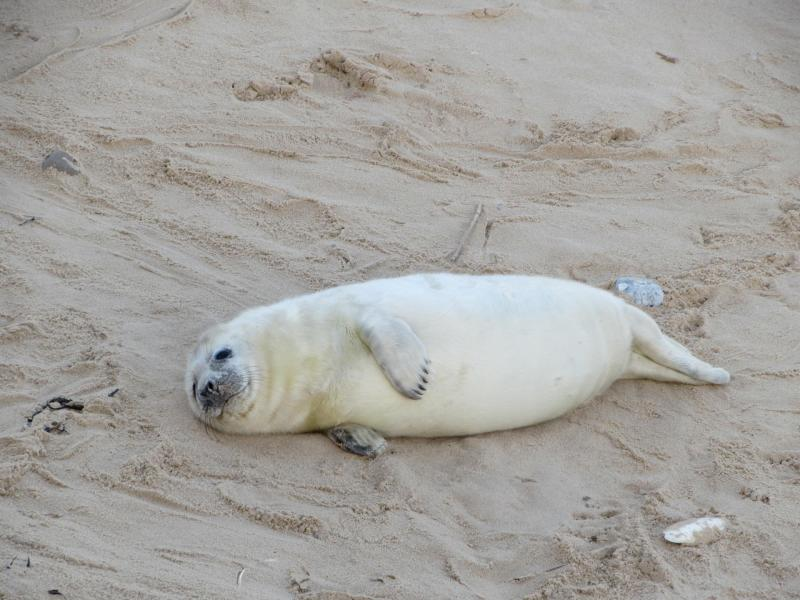 Seal Watching in North Norfolk - Yesihaveablog | Seals Norfolk Horsey Gap | Seal Colony | Norfolk - Life in a Fine City | Winterlust