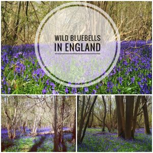 Wild Bluebell Forest in Norfolk England