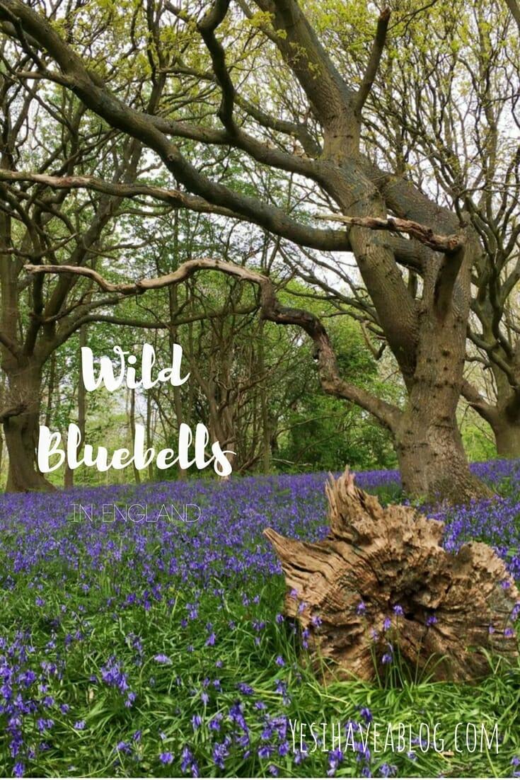 Wild Bluebell Forest | Fairhaven Water Garden Norfolk | Yesihaveablog - Life in a Fine City