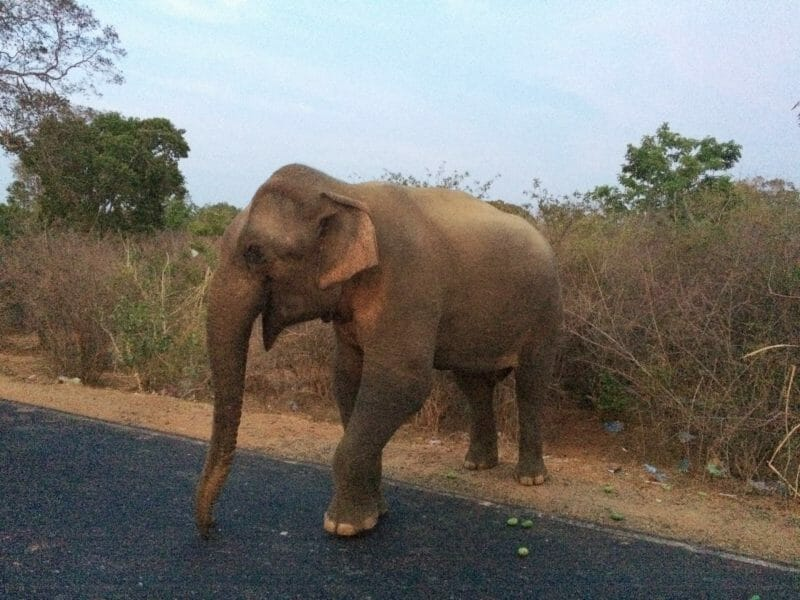 Elephant Crossing the Road Yala National Park Sri Lanka   Where to See Wild Elephants in Sri Lanka   Yesihaveablog