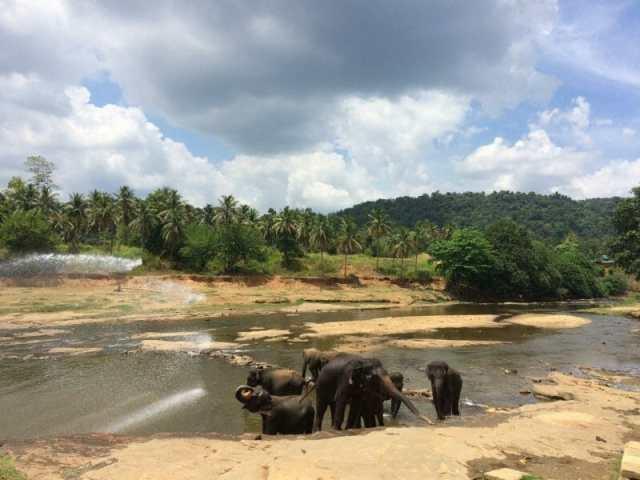 Elephants bathing in the river Pinnawala Elephant Orphanage Sri Lanka