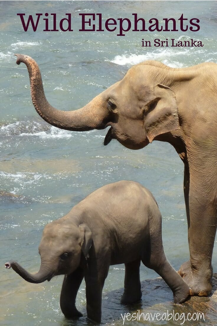 Where to See Wild Elephants in Sri Lanka | Responsible Animal Tourism | Yesihaveablog