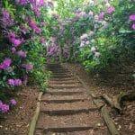 Rhododendron Sheringham Park
