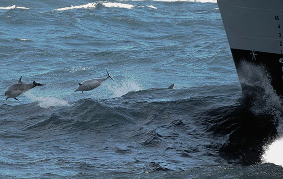 Dolphins and Navy ship