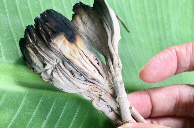 Plante sacrée: Sauge blanche / Salvia apiana