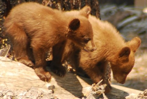 Yosemite-Bear-Cubs-YExplore-DeGrazio-2008