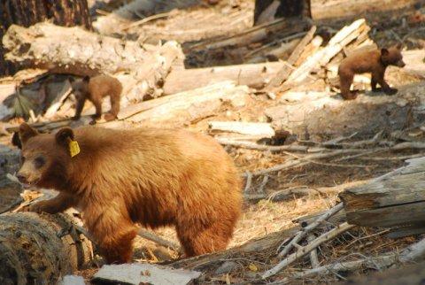 Yosemite-Mama-Cubs-YExplore-DeGrazio-2008