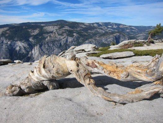 Yosemite-Sentinel-JeffreyPine-Mia-DeGrazio-Nov2014