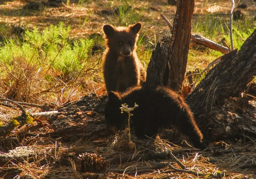 Yosemite-Cubs-YExplore-DeGrazio-JUN2008