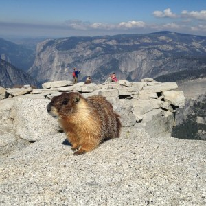 Yosemite-HalfDome-Marmot-YExplore-DeGrazio-May2015