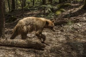 Fostering Yosemite Stewardship Black Bear