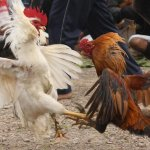 Indian Rooster Kills Owner During Cockfight