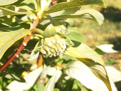 ミツマタの来年の花芽131114_093209.jpg