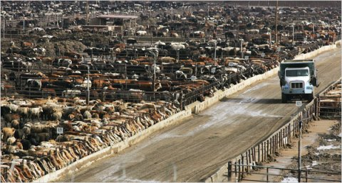 ABD-California'da 100 bin hayvanın yer aldığı bir çiftlik