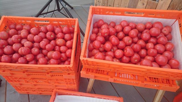 s_栽培されたトマト.JPG