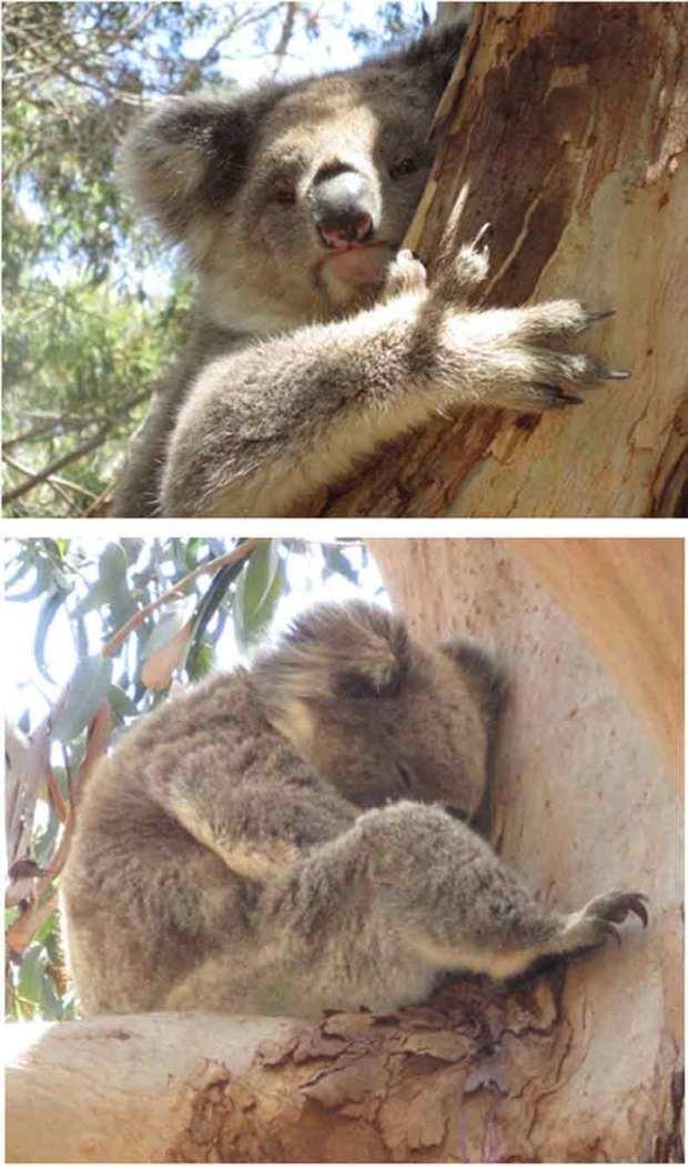 Wild koalas in Hanson Bay, Kangaroo Island, Australia - YML v/Henny Jensen