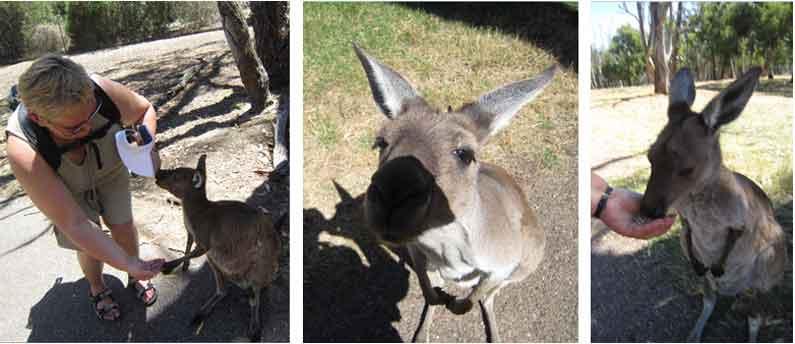 YML v/Henny Jensen hand feeds kangaroos in Cleland Wildlife Park, Adelaide Hills