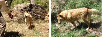 A hungry dingo family in Cleland Wildlife Park, Adelaide Hills - YML v/Henny Jensen