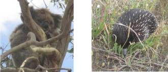 We managed to spot a wild koala and a wild echidna on our day tour on Great Ocean Road - Henny Jensen