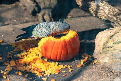 Parot eating from a pumpkin