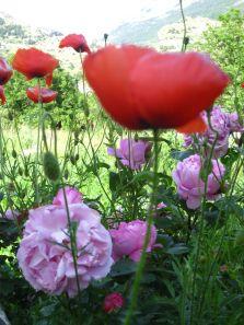 Roses et Coquelicots Nalanda