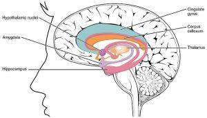 the limbic lobe