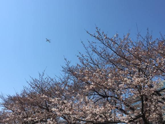平和台球場跡地へ続く坂道の桜
