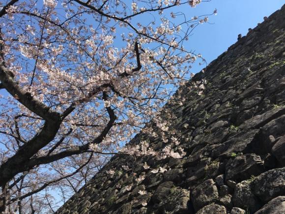 福岡城大天守台跡の石垣と桜