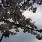 舞鶴公園西広場の桜
