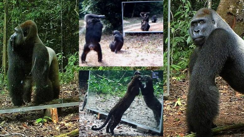 Laukiniai gyvūnai ir jų reakcija prieš veidrodį