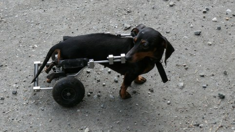 People think I'm so brave to be a disabled dachund, but they don't want to hear about the hard parts