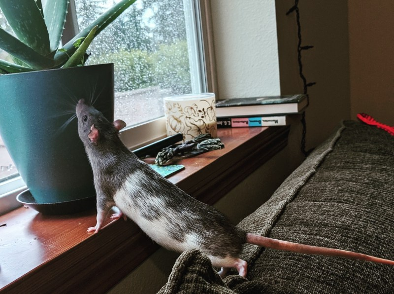 A black and white rat uses the wooden windowsill to stretch into what looks like the yoga pose upward facing dog. There are books, a decorative candle, and a plant on the windowsill and the window is covered in rain drops.