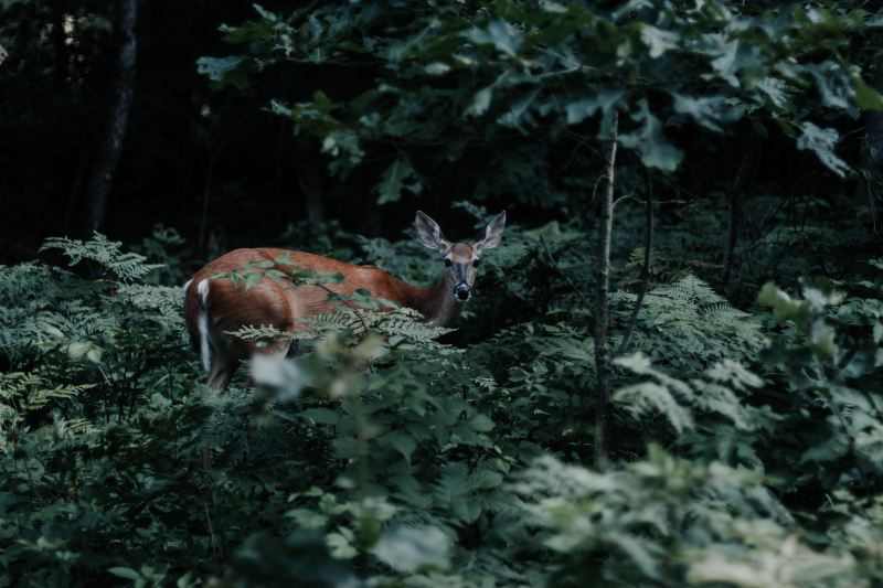 A deer crouches, staring into the camera, tail tucked, frightened and cautious, surrounded by dark green foliage.