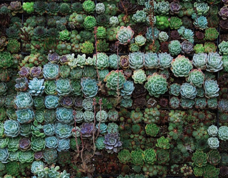 Looking down on several hundred succulents packed closely together so it looks like a wall of plants. They are many different shades of green, turquoise, blue, brown, and purple and many sizes and textures.