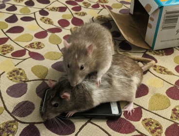Two rats pile on top of a smart phone, as if they are preventing you from using it.