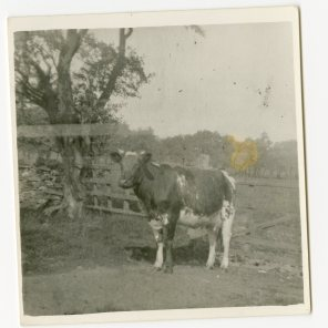 Cow at Gildersbeck. Courtesy of John Simpson