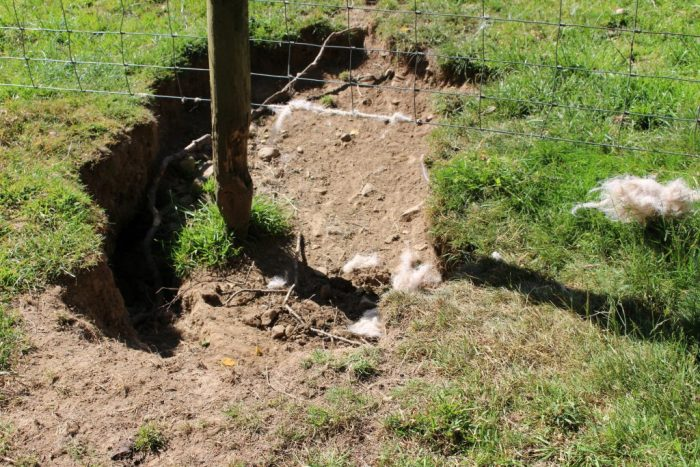 This is where the sheep got in. The hole beneath the fence was probably dug out by badgers