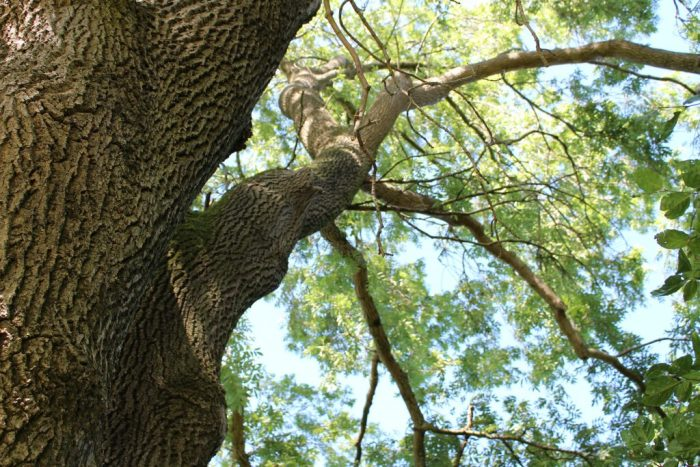 An ancient ash in Hodgehill Wood