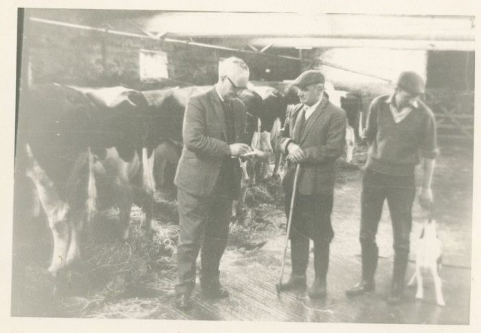 Cows in the shippon at Cragg Hall Farm. Unknown date. Courtesy of George Sledge