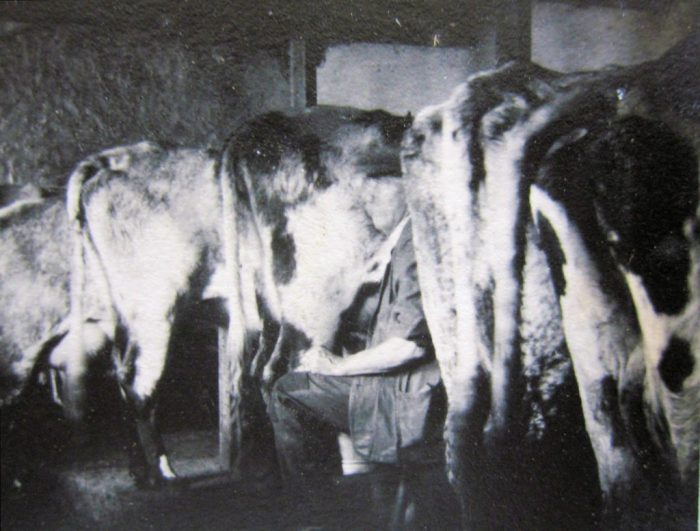 Christopher (Kit) Heseltine handmilking at Heaning Hall Farm 1940. Courtesy of Jacky Barnes née Sayer and Peter Sayer